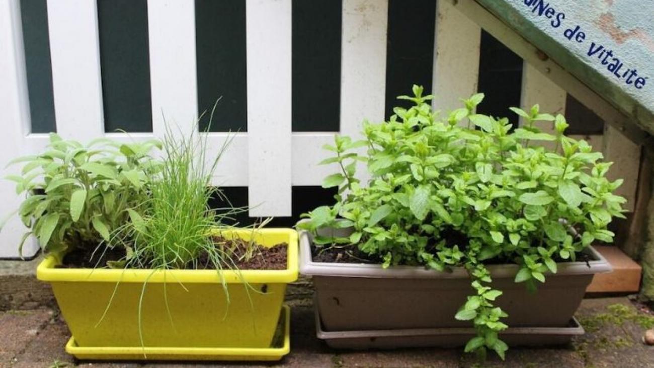 Article de blog sur les plantes aromatiques par Amandine Meisse naturopathe 2